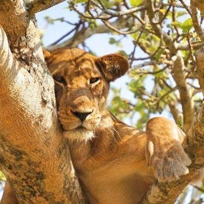 Lake Manyara Tree Climbing Lion