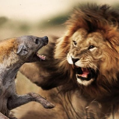 Serengeti lion hyena fight