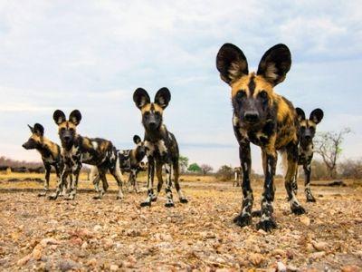 African Wild Dog Nyerere National Park Tontu