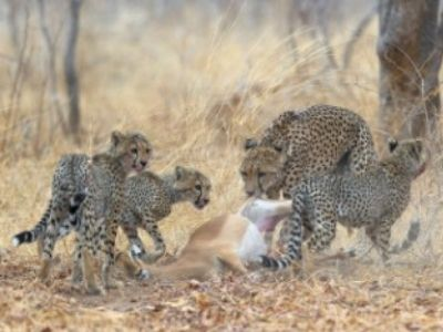 Cheetah family surviving