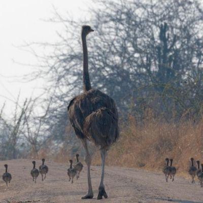 Mother Ostrich with babies Ruaha National Park Tontu Safaris