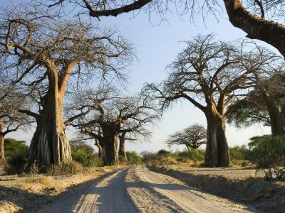 Ruaha Baobab Southern Wilderness Tontu
